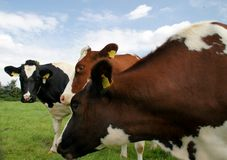 cows in meadow Royalty Free Stock Photography