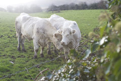 Cows in meadow Stock Images