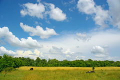 Cows on a meadow. A black cows on a solar meadow Stock Photography
