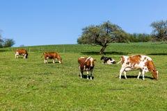 Cows on meadow, Aargau, Switzerland Royalty Free Stock Images