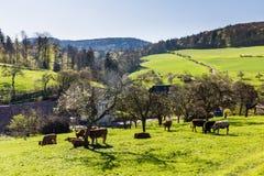 Cows on meadow, Aargau, Switzerland Stock Photo