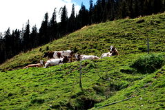 Cows in the meadow. Cows on the alp with needle trees and clouds in the background Stock Image