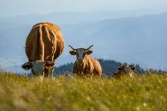 Cows on a meadow in Alps Austria. Schockl mountain above Graz stock photo