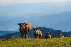 Cows on a meadow in Alps Austria. Schockl mountain above Graz stock photos