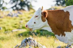 Cows on a meadow in Alps Austria. Schockl mountain above royalty free stock images
