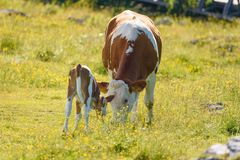 Cows on a meadow in Alps Austria. royalty free stock photography