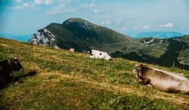 Cows in a meadow in the alps, Italy, Monte Baldo Royalty Free Stock Images