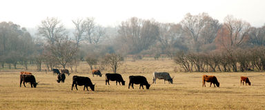 Cows on meadow in autumn Royalty Free Stock Photo