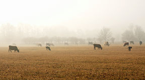 Cows on meadow in autumn Stock Images