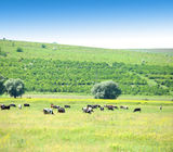 Cows in the meadow. Stock Images