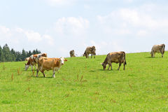 Cows. Royalty Free Stock Photo