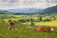 Cows on a meadow. In Bieszczady Mountains, Poland Royalty Free Stock Images