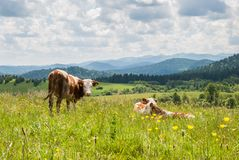 Cows on a meadow. In Bieszczady Mountains, Poland Royalty Free Stock Photos