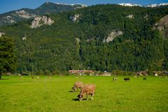 Cows in a meadow. Brown cows on a farm. Many cows graze on a green meadow in the Alpine village Royalty Free Stock Photo