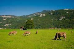 Cows in a meadow. Brown cows on a farm. Many cows graze on a green meadow in the Alpine village Stock Photography