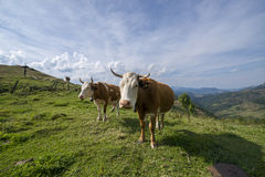Cows on a meadow. Cattle having lunch in the mountains Stock Photo