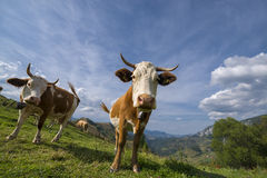 Cows on a meadow. Cattle having lunch in the mountains Stock Photos
