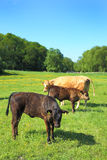 Cows in a meadow Stock Photography