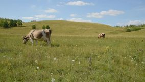 Cows in the meadow chew grass