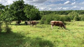 Cows in the meadow of Epping Forest chew grass.