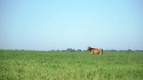 Cows in the meadow chew grass. Milk cow grazing. Farm cattle grazing in field.
