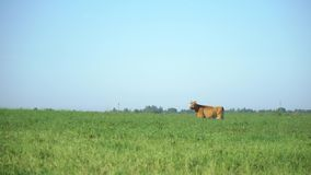 Cows in the meadow chew grass. Milk cow grazing. Farm cattle grazing in field. stock footage