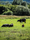 Cows in the meadow. Stock Image