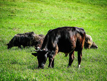 Cows in the meadow. Royalty Free Stock Image