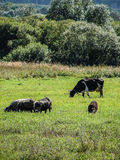Cows in the meadow. Royalty Free Stock Photos