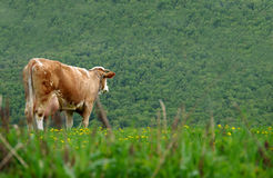 Cows on the meadow Stock Photos