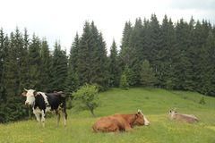 Cows on a meadow. Cows are lying on a meadow in the Carpathian mountains Royalty Free Stock Image
