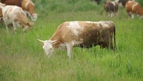 Cows in the Meadow stock footage