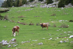 Cows in the meadow. Describes 2 cows in the meadow in Istog hills, Kosovo (altitude around 1500 m Royalty Free Stock Photography