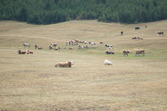 Cows on a meadow. Drove of cows on a meadow royalty free stock image