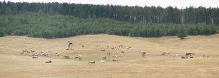 Cows on a meadow. Drove of cows on a meadow royalty free stock photography