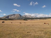 The Durmitor`s panorama. The Cows on the meadow,The Durmitor mountain at the background Royalty Free Stock Photography