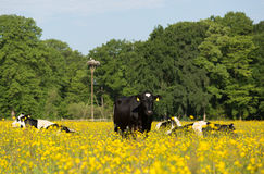 Cows in meadow Royalty Free Stock Images