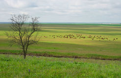 Cows on a meadow in eastern Crimea. Early spring stock photo