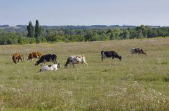 Cows in a meadow royalty free stock images