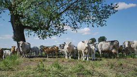 Cows on the meadow stock footage