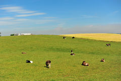 Cows on meadow Royalty Free Stock Images