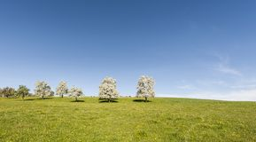Cows, meadow and flowering trees in Switzerland Royalty Free Stock Image