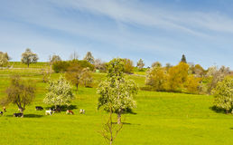 Cows, meadow and flowering trees in Switzerland. Cows grazing on fresh green mountain pastures. Animal husbandry in Switzerland, fields, meadow and flowering Stock Images