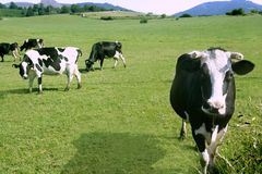 Cows on the meadow fresian cattle Royalty Free Stock Image