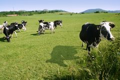 Cows on the meadow fresian cattle Stock Photos