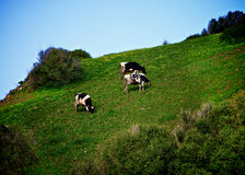 Cows on Meadow. Funny Black and White Grazing Cows on Green Pasture Meadow Outdoors Stock Photo