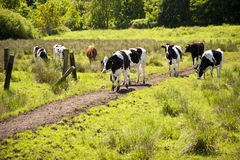 Cows on a Meadow Stock Images