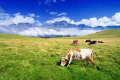 Cows on meadow Royalty Free Stock Photos