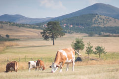 Cows on a meadow royalty free stock images