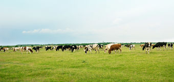 Cows in the meadow Royalty Free Stock Photography